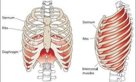 The Diaphragm: An Amazing Muscle